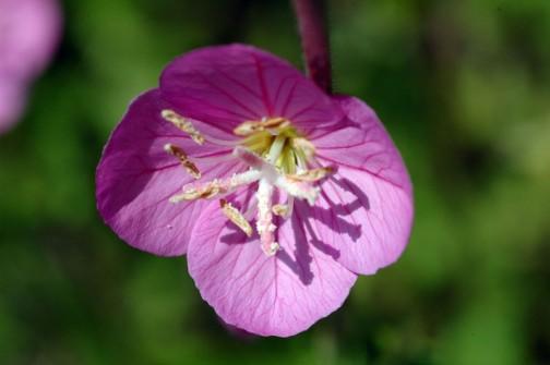 ユウゲショウ アカバナユウゲショウの花