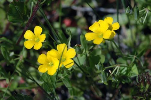 カタバミの黄色の花