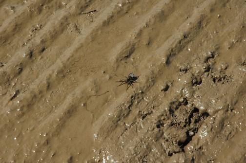コモリグモ