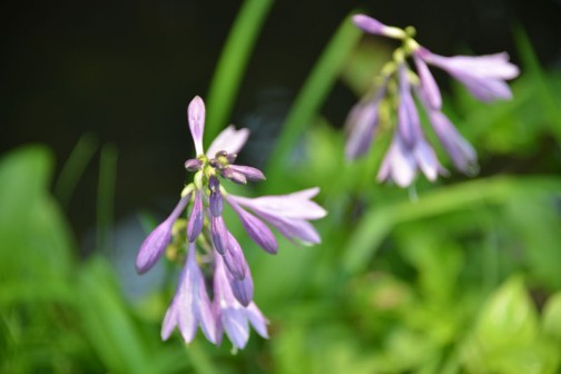 ギボウシ(擬宝珠)とはクサスギカズラ科リュウゼツラン亜科(旧分類ではユリ科)の多年草、ギボウシ属(Hosta)の総称である。