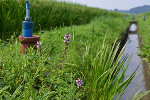 湿ったところが大好き! 赤イヌゴマ(仮) こんなところに生えています。今年は草刈とのタイミングの違いで大群落には成長していませんでした。(毎年すごいんですけど)