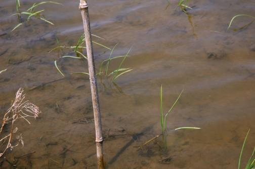 コシヒカリの苗、田植えの終った5月6日です。わからなくなっちゃうので、目印に棒を立てました。