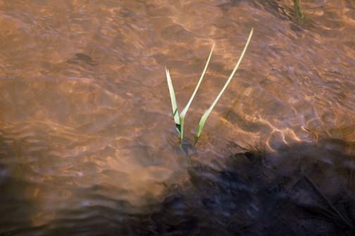 コシヒカリの苗、田植えの終った5月6日です。頼りなげな2個の種から出た2本の芽。
