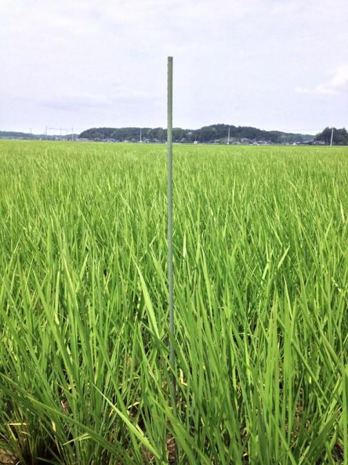 6/29日、田植えから54日後のコシヒカリの様子です。そこらへんの竹の棒を目印に刺しておいたのですが、Mさんが金属製の「ニュー棒」に取り替えておいてくれました。