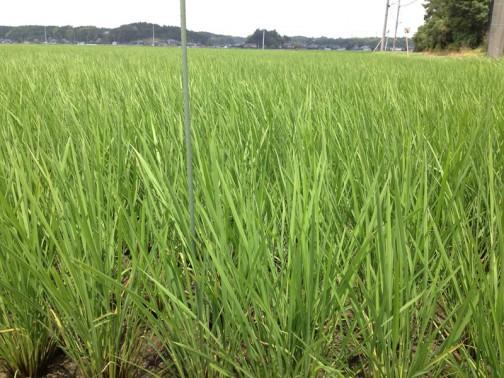 6/29日、田植えから54日後のコシヒカリの様子です。田んぼはカラカラ、水がありません。