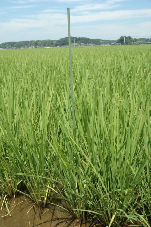 7月9日、田植えをした5月6日から54日経過しました。背も高くなってきました。