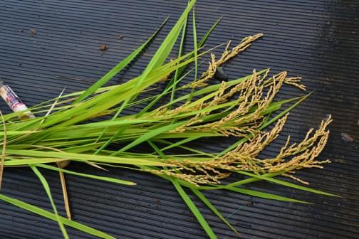 たった2粒のコシヒカリの種・・・それがこれだけに・・・こいつを乾燥させて籾の数を数えるつもりです