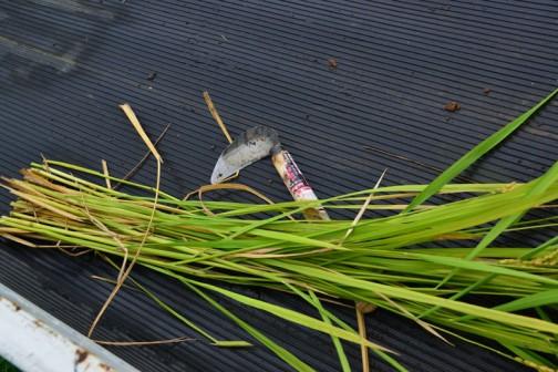 コシヒカリの収穫 茎はこれだけに別れています まだ忙しくて勘定してないんですけど、必ず数えて報告します!