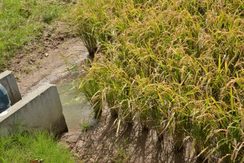 きっちり配水のマスを避けて、機械が通るよう、余裕を持って田植えされてます。