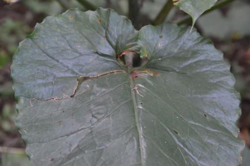 オオウバユリの葉っぱはこうです。