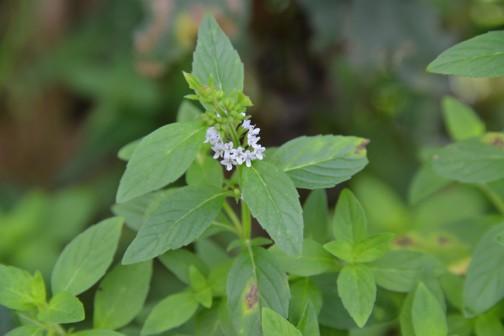 ハッカの花 葉っぱと葉っぱの間、茎のまわりをぐるっと取り囲んで花がつきます。