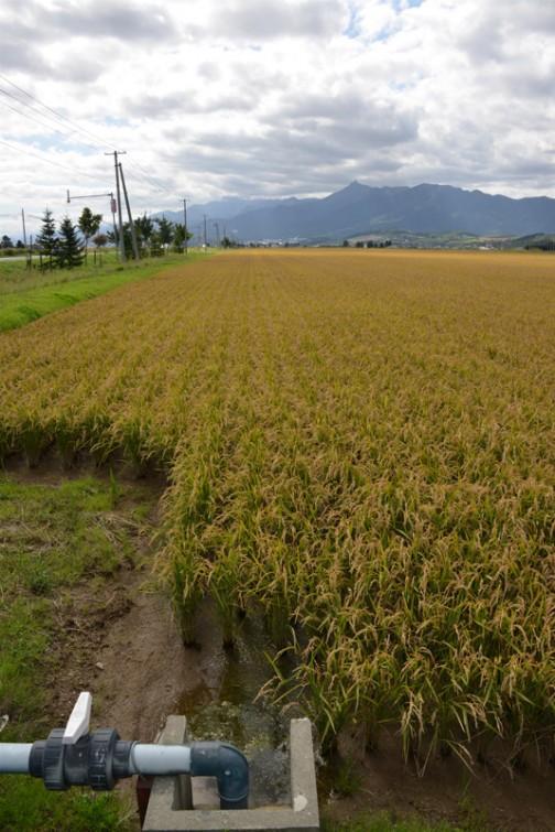 富良野に向かう途中で見た田んぼ。畔で区切られた一枚の田んぼの大きいこと大きいこと・・・農家の方だったらすぐ「◯◯反歩だな」ってわかるんでしょうけど、ちょっと想像もつかないです。近所で見る田んぼの何倍も何倍もありそうな広い広い田んぼです。