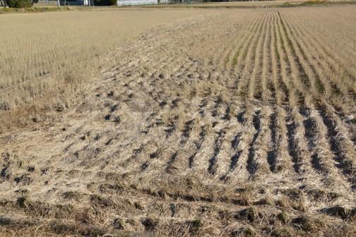 わかりにくいかもしれません、稲刈りの終った田んぼにコンバインが切り刻んだ稲わらが、折り重なって川のように溜まっているのが見えます。