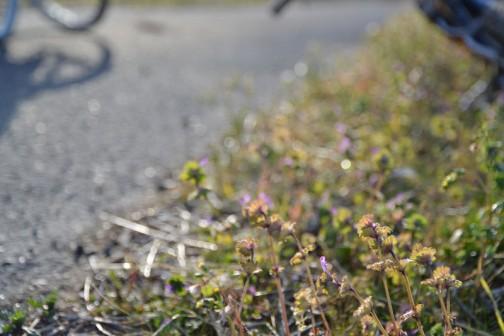 ホトケノザ こいつはもう花を咲かせています。冬の勝利者、無人の野を行くフロンティアですね。