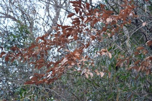落葉樹なのに冬、葉っぱを落とさない「ヤマコウバシ」