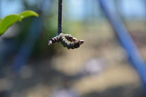 アケビ(https://oba-shima.mito-city.com/tag/akebitag/)の芽も膨らんできました。年輪が刻まれて鳥の足みたい。