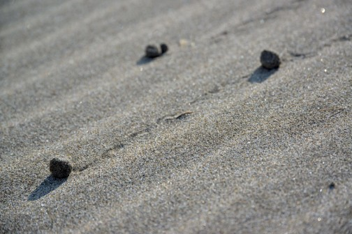 僕が歩いたあとを転がる砂の玉。数日前の雨の影響か、今日はちょっと湿ってます。