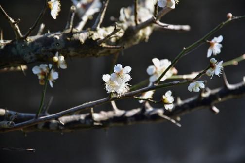 偕楽園の「梅まつり」ではとっくに満開の梅もやっと咲き始めたところです