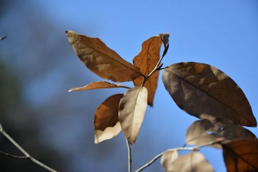 「ヤマコウバシ」もついでに見てきました。葉っぱの裏に毛が生えているというのですが、毛? さわっとしているくらいですかねえ・・・マットな触感です。