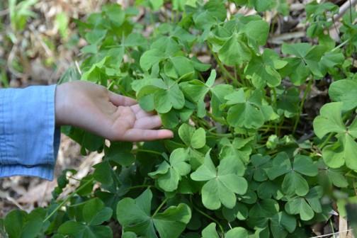 カタバミ(酢漿草、片喰、学名: Oxalis corniculata)はカタバミ科カタバミ属の多年草。花言葉は「輝く心」である。