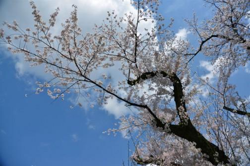 弘道館鹿島神社の桜