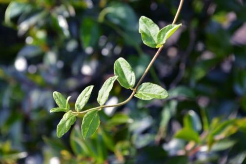 イカズラ(吸い葛、学名:Lonicera japonica)はスイカズラ科スイカズラ属の常緑つる性木本。別名、ニンドウ(忍冬)。冬場を耐え忍ぶ事からこの名がついた。