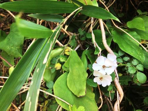 こちらは5/29日に東海村でみたノイバラの花。こちらももう季節は終りそうな気配。
