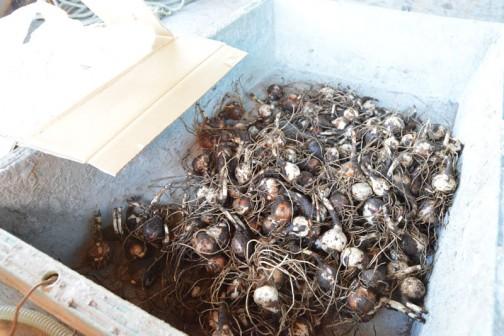 今度の日曜の環境保全活動で植える彼岸花の球根を買いました。その数難と200個!
