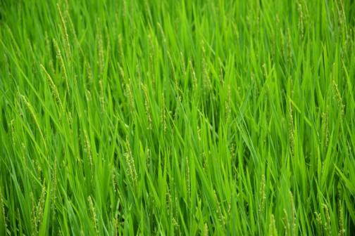 稲はもう穂が出て花が咲いています。