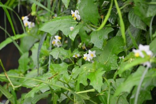 ワルナスビの花 結構大きく背丈は40センチほど、葉っぱも長手方向で10センチ、幅は5センチくらいあります。そして茎には鋭いトゲが・・・