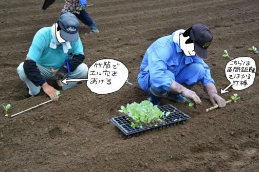40センチに切った棒で苗間の距離を決め、て別に持っている竹棒で土に穴を開けてボットの苗を植えて行きます。