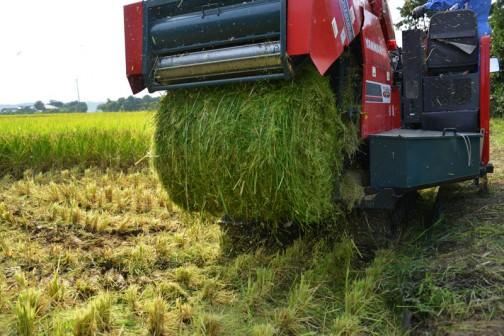 地面から15センチ程で刈取った飼料稲をおなかの中で丸めて・・・