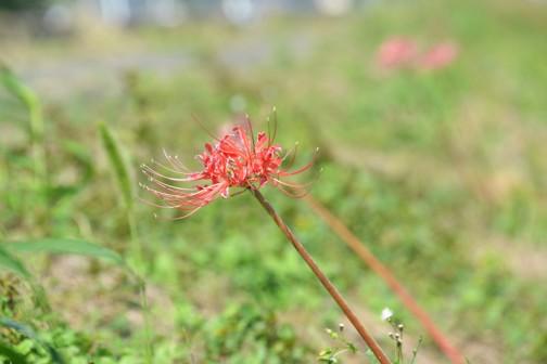 全部が全部咲いたわけではないようですが、ポツリポツリとヒガンバナの花が咲いています。
