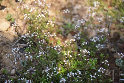 タネツケバナがあちこちで咲いています。農作業の目安になる植物は他にも色々あって、会長さんは「コブシの花が咲くと種もみを冷せ(水に浸けて発芽しやすいようにする)っていうな」と言っていました。
