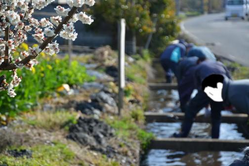 水路の泥上げ 梅も咲いて菜の花も咲いて・・・春ですね。