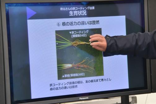 生育状況 6.根の活力の違いは歴然 鉄コーティング直播の稲は、茎の根元まで青々とし、根の活力の違いは歴然。