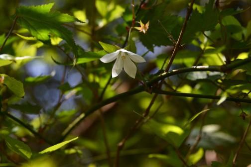 こちらも白い花。モミジイチゴです。シラユキゲシは日陰派ですが、こちらも下を向いて・・・日陰派なのかなあ・・・ウィキペディアによれば、モミジイチゴ(紅葉苺、学名:Rubus palmatus var. coptophyllus)とは、バラ科キイチゴ属に分類される植物の一種。東日本に分布。葉がもみじに似ているためこの名がある。黄色い実をつけるため黄苺の別名がある。果実は食用になる。とあります。トゲがたくさんあってあまり嬉しくない植物ですよね。