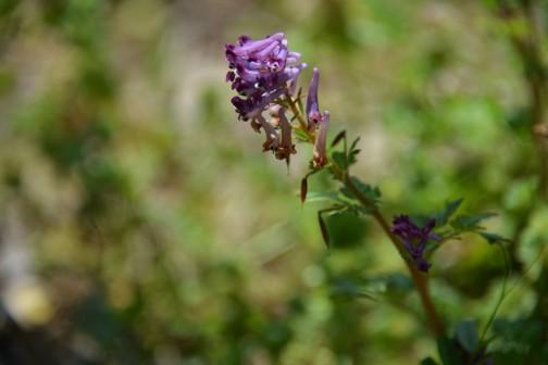 ムラサキケマン 春に限らず、雑草の花って紫系統が圧倒的に大いような気がします。しかもディープパープルから赤紫、ピンクに近いものまでバリエーションも多いのに、白や黄色はそんなにバリエーションがないような気がします。