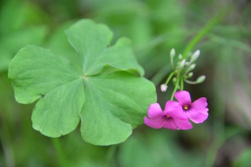 イモカタバミ 売ってはいないそうですが、かわいらしい花で、観賞用というのはわかるような気がします。