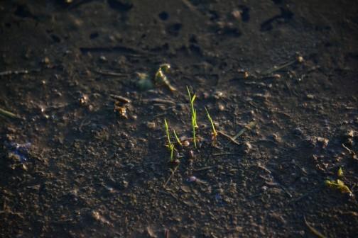 飼料稲、鉄コーティング種直播き
