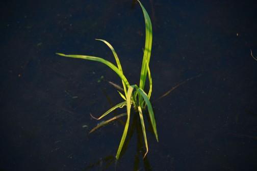 水面から出ている部分でもう12〜15センチほどになっています。
