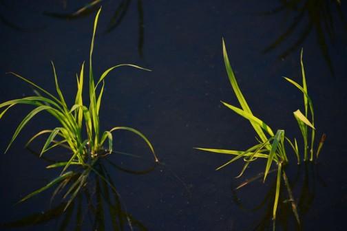 水面が暗く落ちて、夕日に苗が光っているのがおもしろくて撮っています。