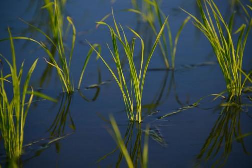 田植えの頃は糸のように見えた苗もこんなに太くなって、今では田んぼの水も見えにくくなっています。