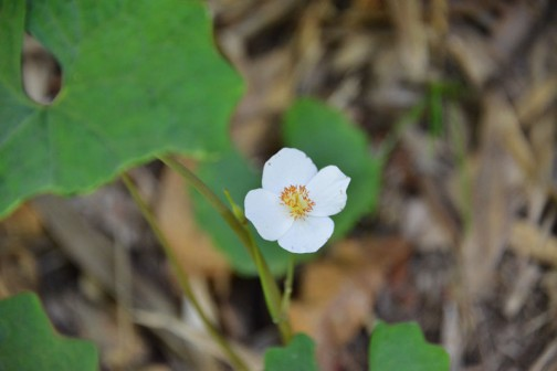 同じくホウチャクソウの斜面にシラユキゲシも咲いています。