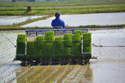 飼料稲の田植えは直播もするのですが、日程的に見ることができず残念!