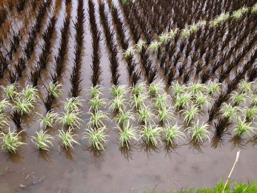 水戸市川又町の田んぼアート。クロとはいわないのかもしれませんが、この濃い色と、同じくシロとはいわないのでしょうが、この粉をふりかけたような白。緑一面の稲作地帯にこのコントラストは強烈です。