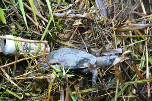 揚水機場のゴミスクリーニング?のところでカメを見つけました。死んでるみたい。他にも口をまだパクパクさせている大きなフナも・・・