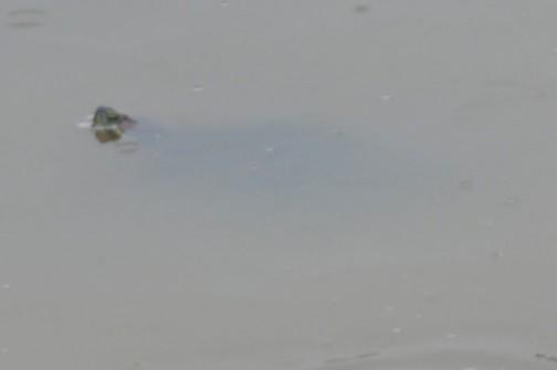 写真を拡大してみると、ミシシッピアカミミガメ・・・外来種でした。先ほどの死んでるカメは在来種で、生きてるのは外来種か・・・