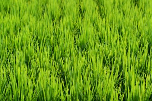 飼料稲の直播、生育状況