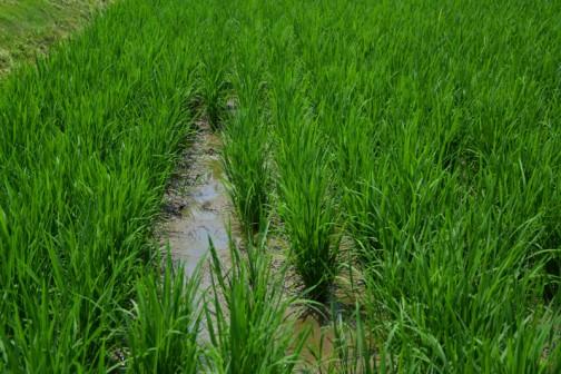 飼料稲の直播、生育状況。